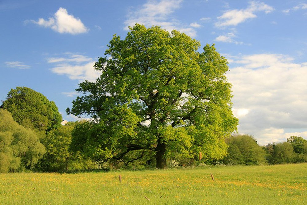 An oak in the middle of a field