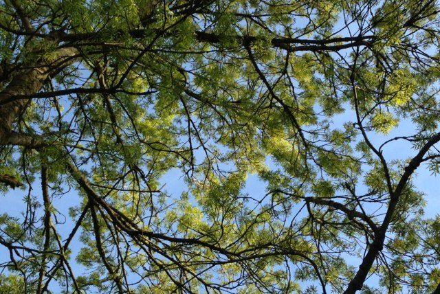 Ash tree pom poms